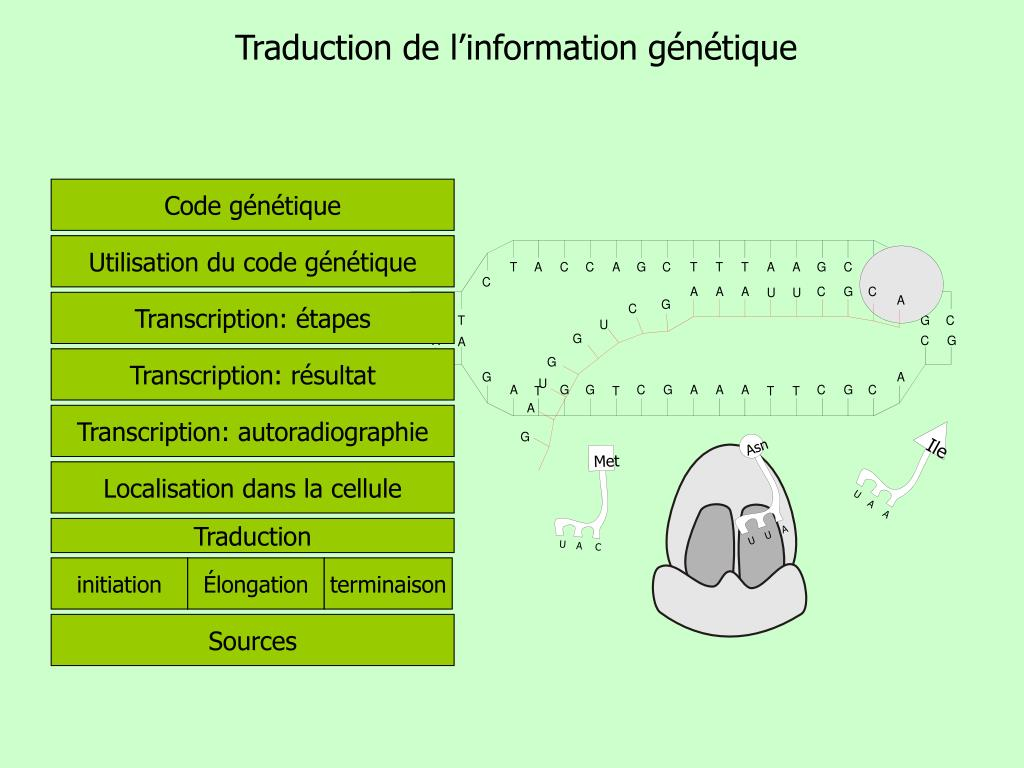 traduction de l information g n tique l.