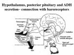 hypothalamus posterior pituitary and adh secretion connection with baroreceptors