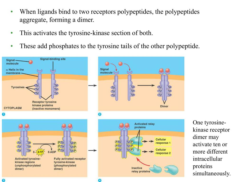 When ligands bind to two receptors polypeptides, the polypeptides aggregate, forming a dimer.