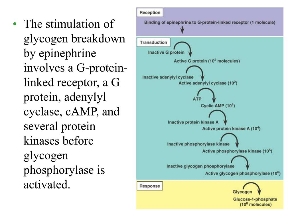 The stimulation of glycogen breakdown by epinephrine involves a G-protein-linked receptor, a G protein, adenylyl cyclase, cAMP, and several protein kinases before glycogen phosphorylase is activated.