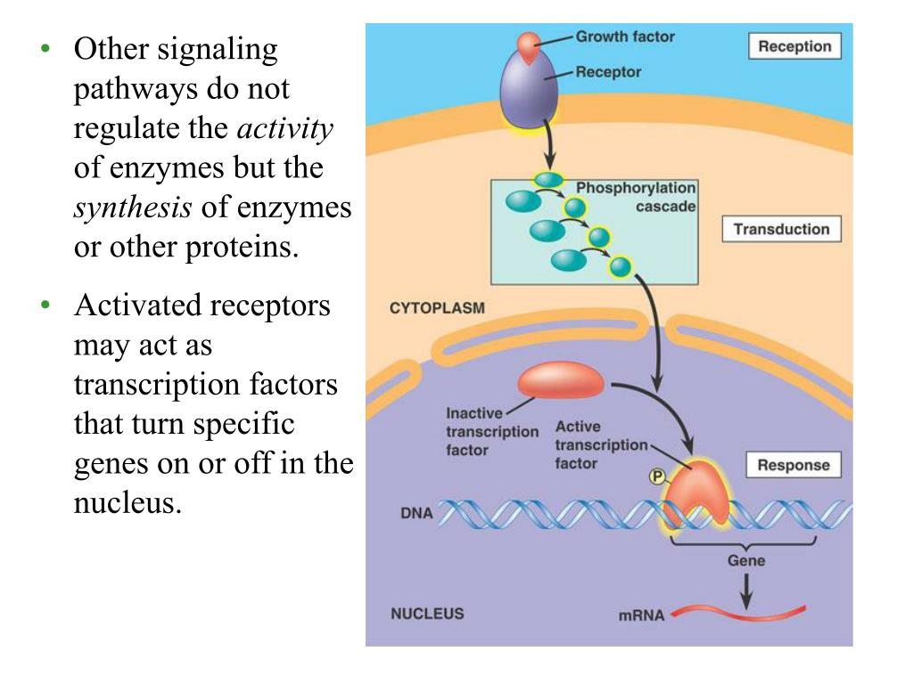 Other signaling pathways do not regulate the