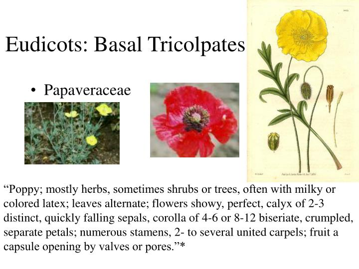 Eudicots: Basal Tricolpates