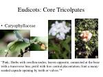 eudicots core tricolpates1