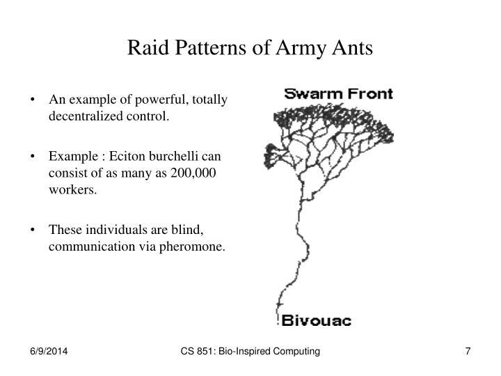 Raid Patterns of Army Ants