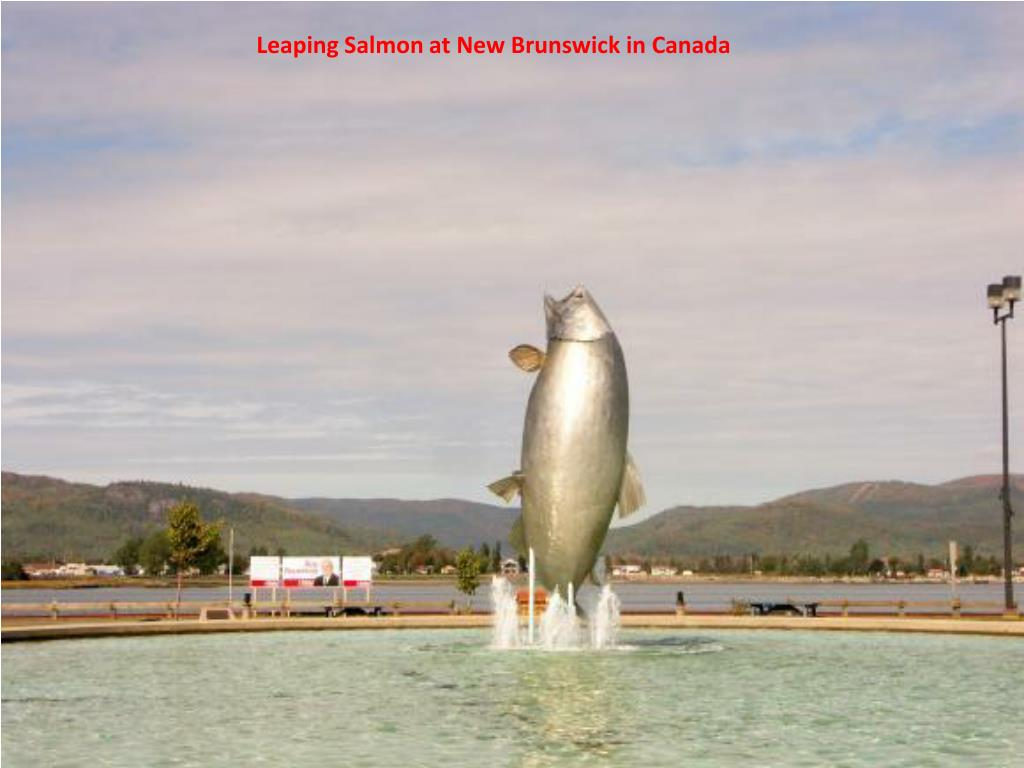 Leaping Salmon at New Brunswick in Canada