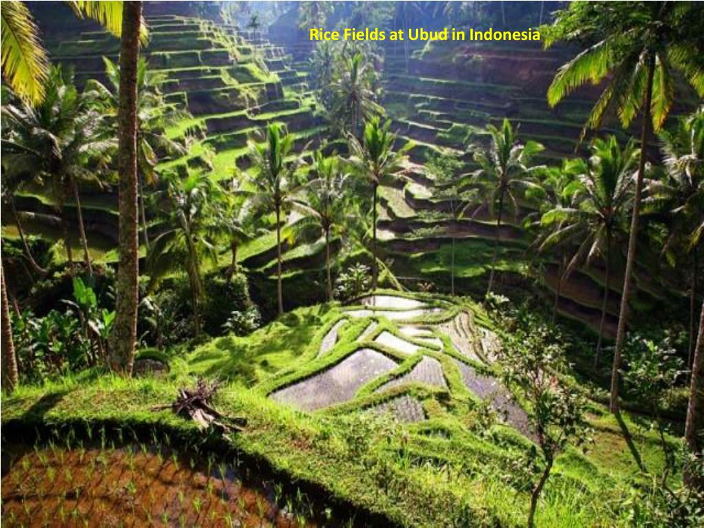Rice Fields at Ubud in Indonesia