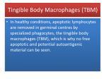 tingible body macrophages tbm2