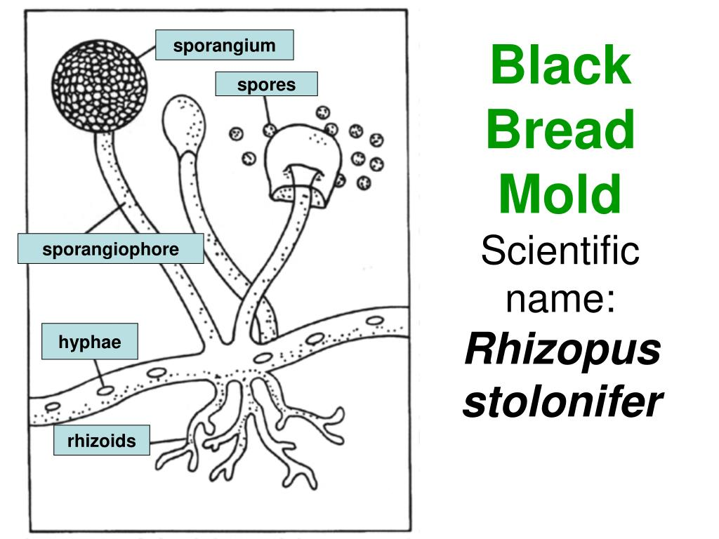PPT - Black Bread Mold Scientific name: Rhizopus ...