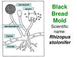 black bread mold scientific name rhizopus stolonifer