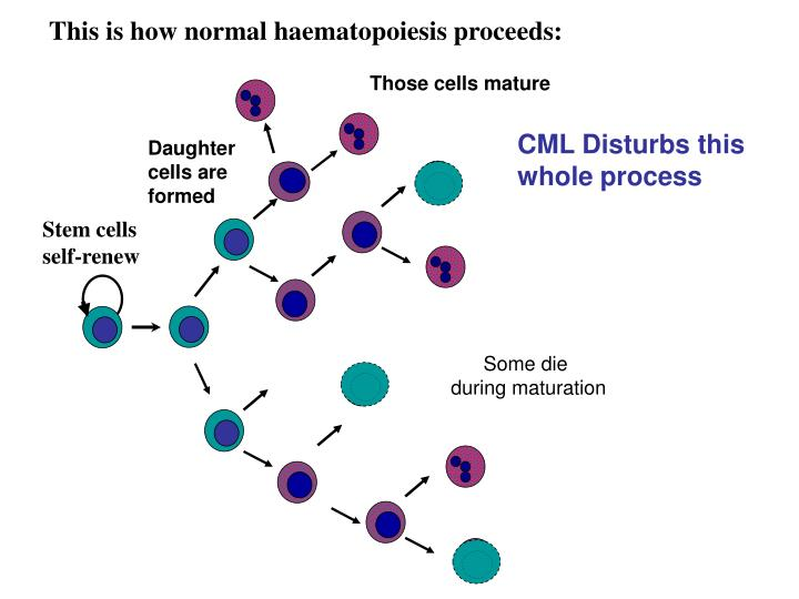 This is how normal haematopoiesis proceeds: