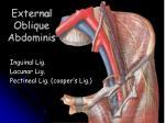 external oblique abdominis
