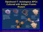 sipuleucel t autologous apcs cultured with antigen fusion protein