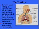 the trachea53