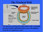 the tracheal wall45
