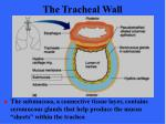 the tracheal wall48