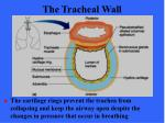 the tracheal wall50
