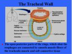the tracheal wall51