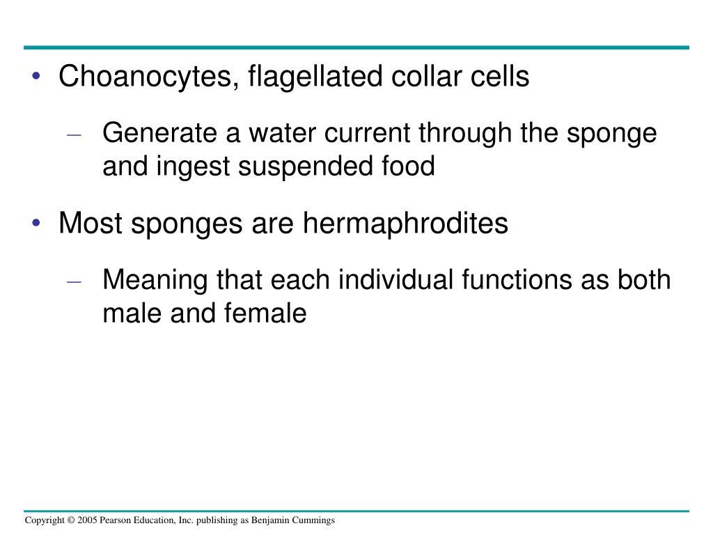 Choanocytes, flagellated collar cells
