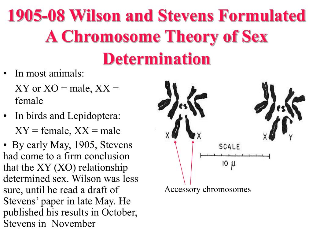1905-08 Wilson and Stevens Formulated A Chromosome Theory of Sex Determination