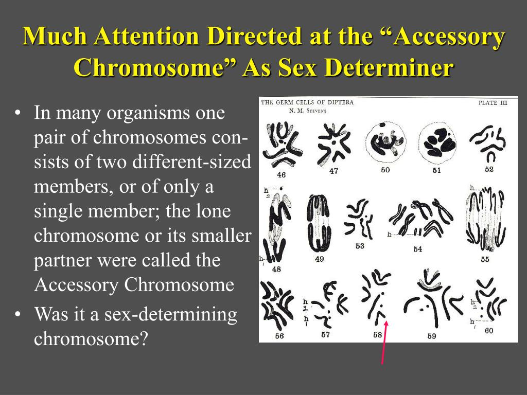 """Much Attention Directed at the """"Accessory Chromosome"""" As Sex Determiner"""
