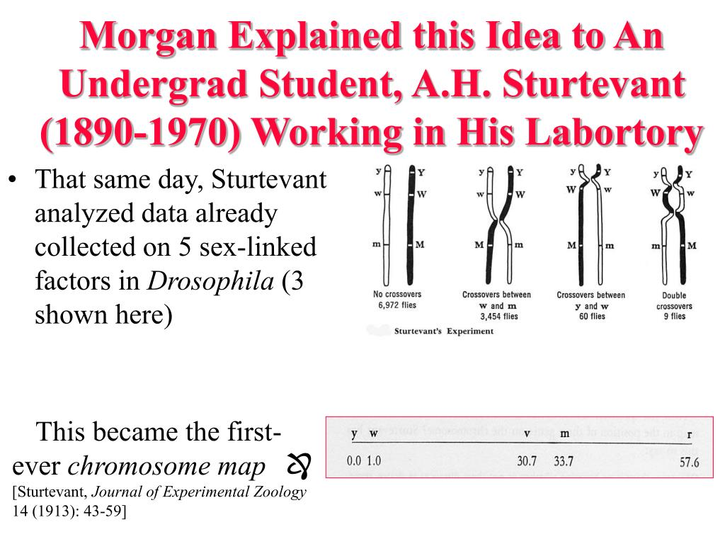 Morgan Explained this Idea to An Undergrad Student, A.H. Sturtevant (1890-1970) Working in His Labortory