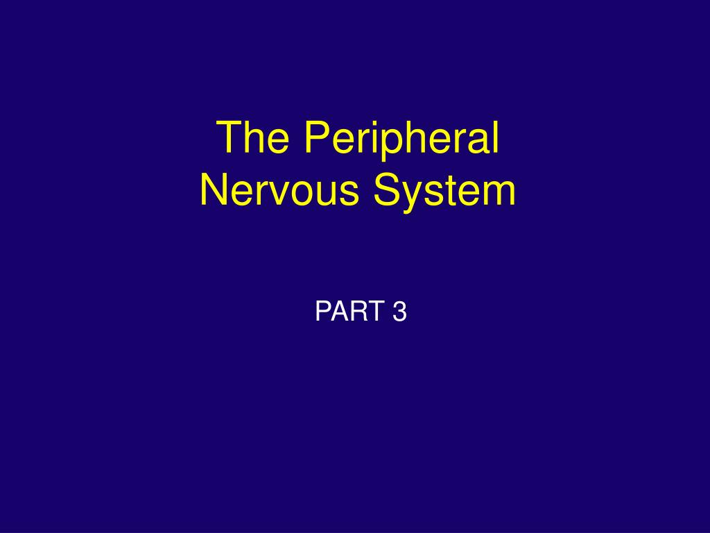 the peripheral nervous system l.
