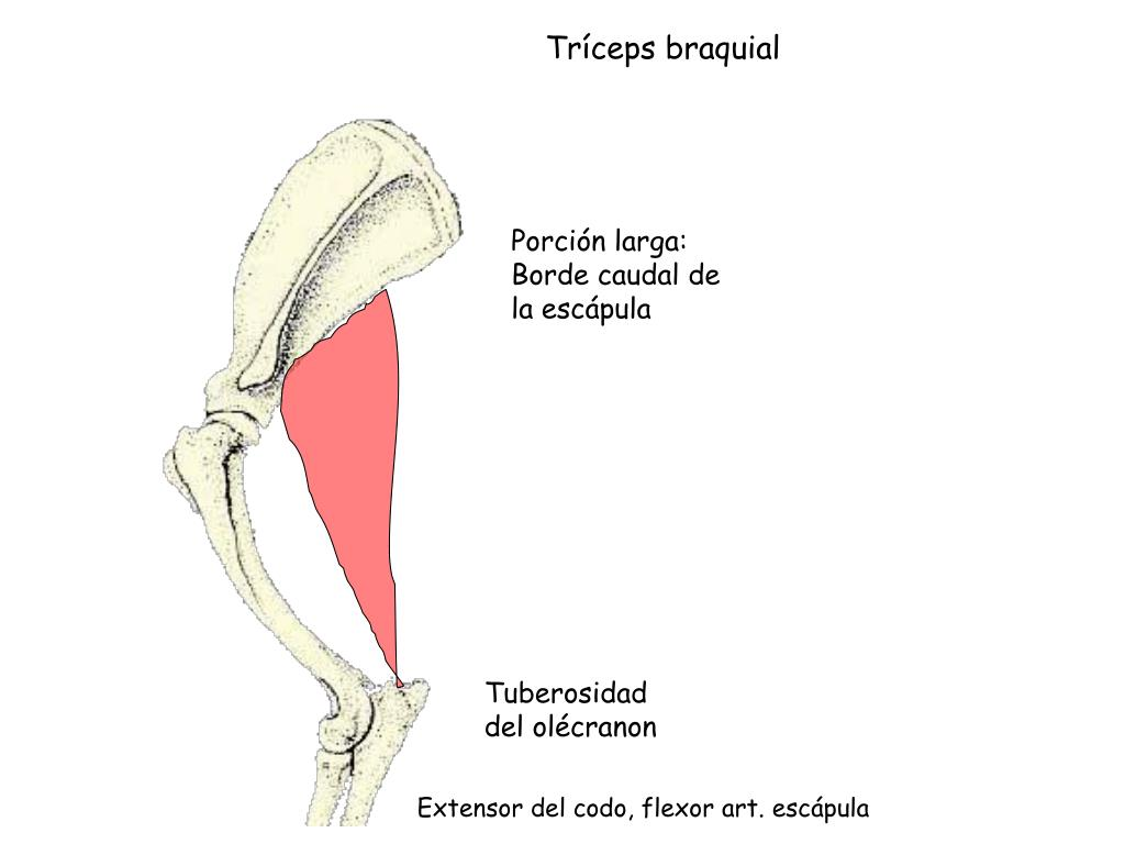 Tríceps braquial