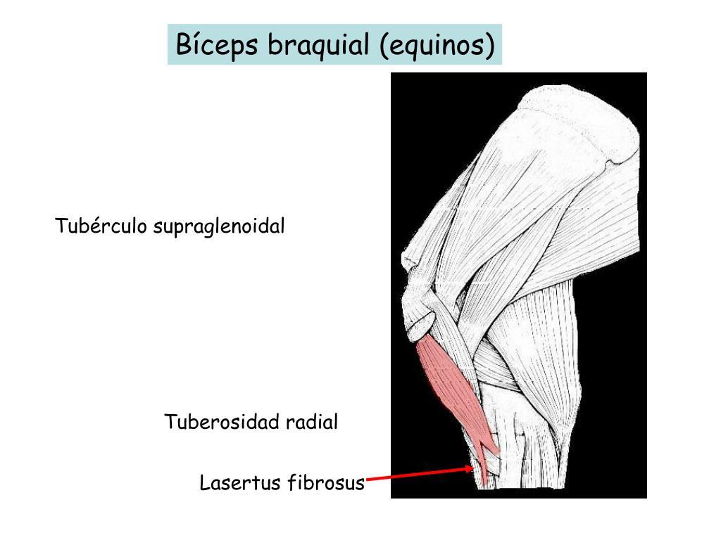 Bíceps braquial (equinos)