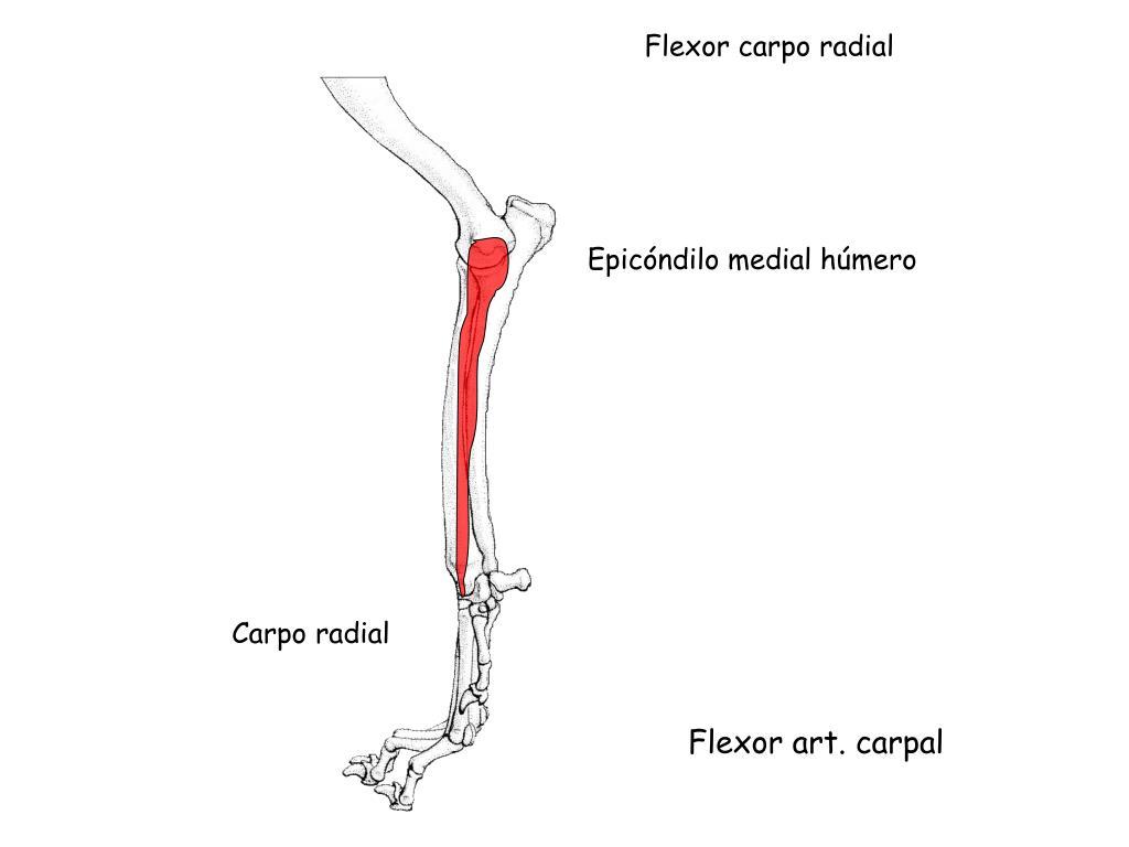 Flexor carpo radial