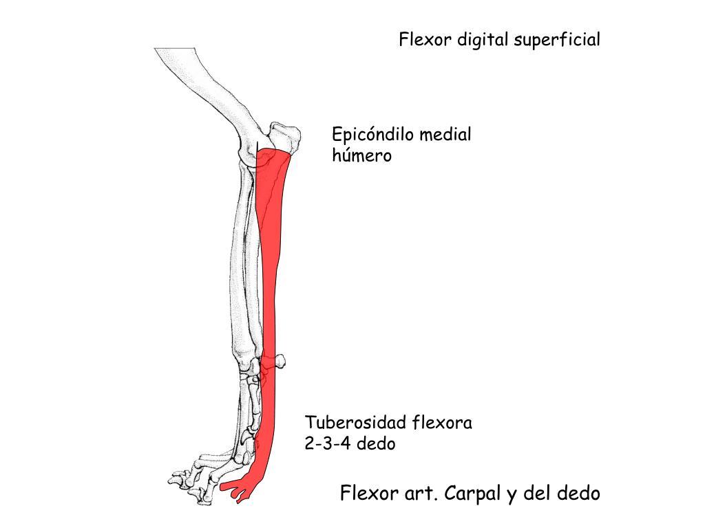 Flexor digital superficial