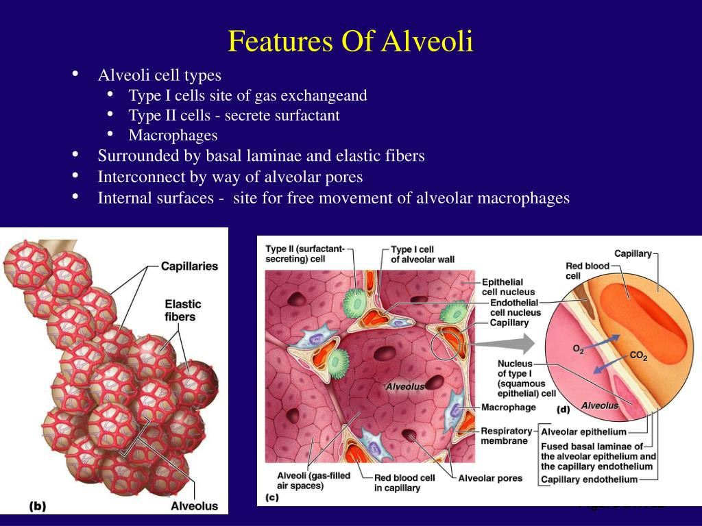 Features Of Alveoli