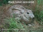 black tailed jackrabbit77