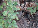 fox squirrel29