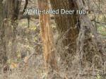 white tailed deer rub