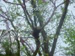 woodchuck54