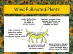 wind pollinated plants