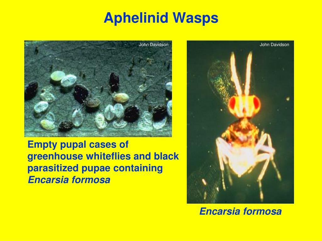 Aphelinid Wasps