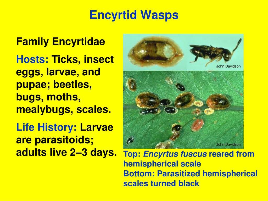 Encyrtid Wasps
