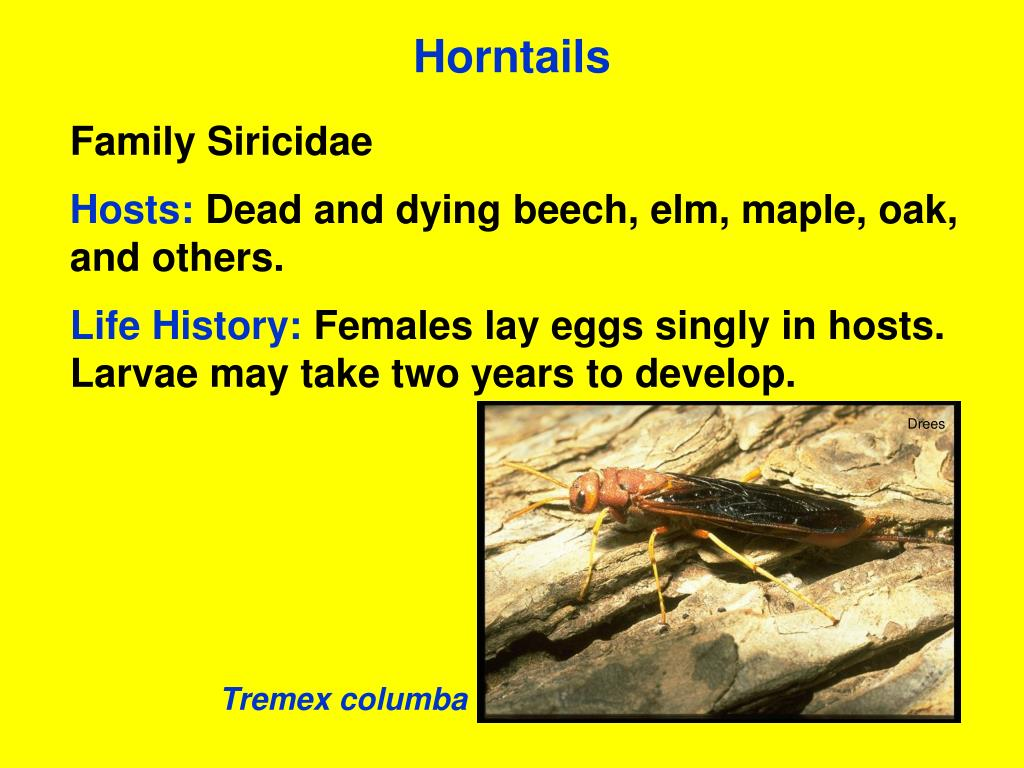 Horntails