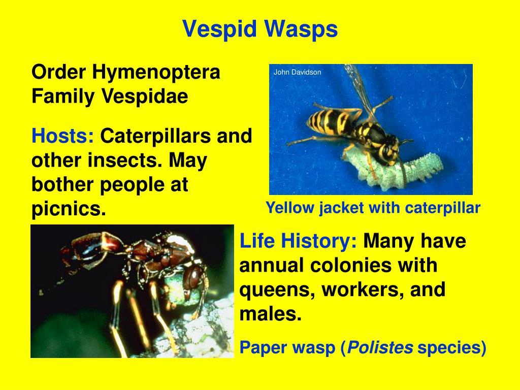 Vespid Wasps
