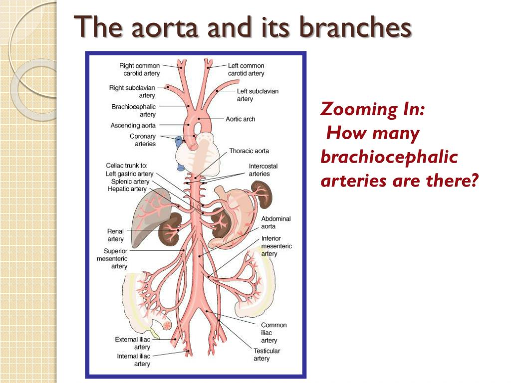 The aorta and its
