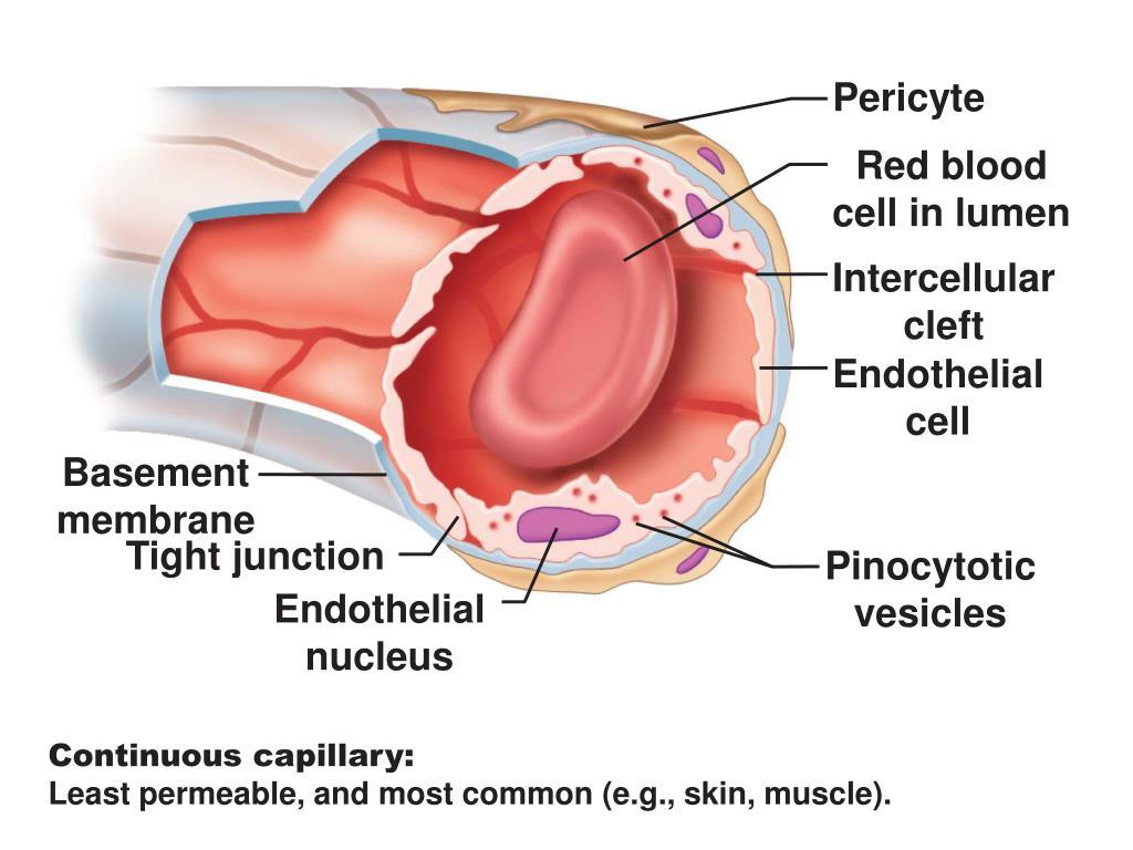Pericyte
