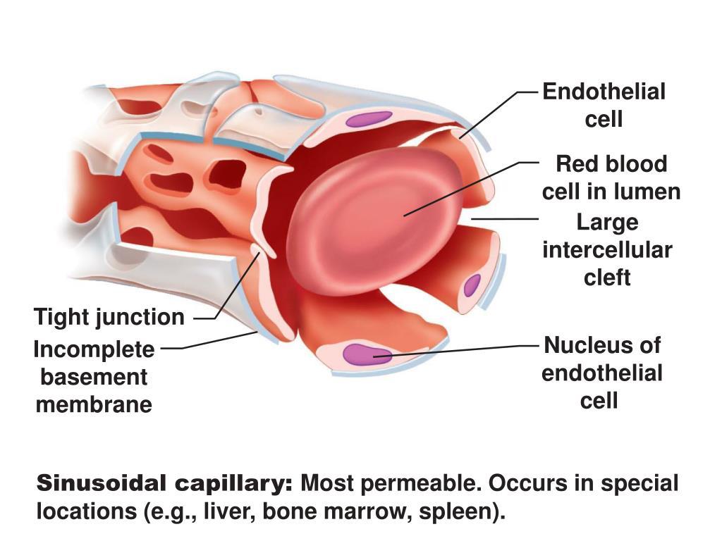 Endothelial