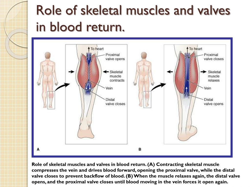 Role of skeletal muscles and valves in blood return.