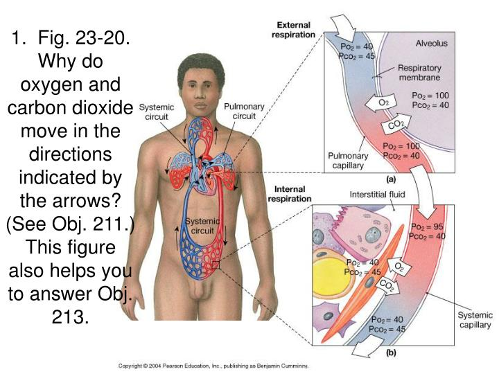 1.  Fig. 23-20.  Why do oxygen and carbon dioxide move in the directions indicated by the arrows?  (...