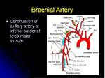 brachial artery
