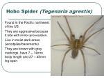 hobo spider tegenaria agrestis