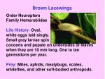 brown lacewings