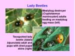 lady beetles17