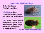seed and big eyed bugs